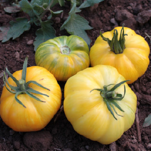 """Pork Chop - While most """"yellow"""" tomatoes are actually orange, this is a true yellow that starts off yellow with green stripes that ripen to gold. The medium sized, slightly flattened beefsteaks have sweet tomato flavour with hints of citrus."""