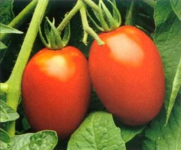 Roma Tomato -A very well-known, flavoursome paste tomato that can double as a good salad tomato, as its flesh does not collapse too easily.